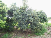 林內濁水溪灌溉的荔枝樹正在結果,等待認養哦。:IMG_2496.JPG
