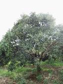 林內濁水溪灌溉的荔枝樹正在結果,等待認養哦。:IMG_2498.JPG