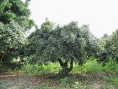 林內濁水溪灌溉的荔枝樹正在結果,等待認養哦。:IMG_2499.JPG