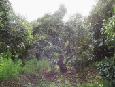 林內濁水溪灌溉的荔枝樹正在結果,等待認養哦。:IMG_2501.JPG