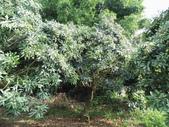 林內濁水溪灌溉的荔枝樹正在結果,等待認養哦。:IMG_2504.JPG