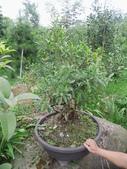 南投鹿谷盆栽展示:IMG_9315.JPG