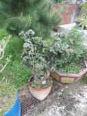 南投鹿谷盆栽展示:IMG_9316.JPG