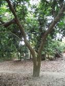 林內濁水溪灌溉的荔枝樹正在結果,等待認養哦。:IMG_2480.JPG