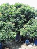 林內濁水溪灌溉的荔枝樹正在結果,等待認養哦。:IMG_2481.JPG