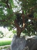 林內濁水溪灌溉的荔枝樹正在結果,等待認養哦。:IMG_2482.JPG