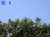 花花草草:大葉溲疏002.jpg