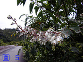 花花草草:大葉溲疏024(3m).jpg