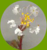 花花草草:九芎10.jpg