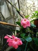 綠牆-防曬降溫免吹冷氣:飄香藤1-全日照.JPG