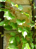 綠牆-防曬降溫免吹冷氣:常春藤3.jpg