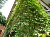 綠牆-防曬降溫免吹冷氣:常春藤4.jpg