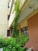 綠牆-防曬降溫免吹冷氣:常春藤10-二樓爬到三樓.jpg
