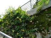 綠牆-防曬降溫免吹冷氣:軟枝黃蟬1.jpg