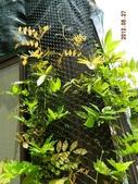 綠牆-防曬降溫免吹冷氣:紫藤1.jpg