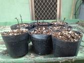 1:越南抱莖紅山茶展葉苗