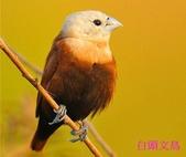格照語法1:白頭文鳥1.jpg