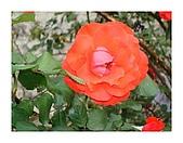 泥龍相簿1:玫瑰花.JPG