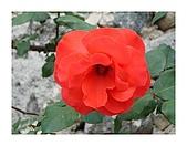 泥龍相簿1:玫瑰花1.JPG