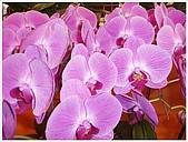 花花世界:蘭花7.JPG