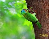 格照語法1:五色鳥1.jpg