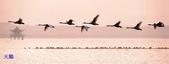 :天鵝1.jpg
