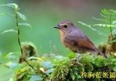 文語法2:棕胸藍姬鶲5.jpg