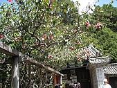 泥龍相簿:五百年老山茶.jpg
