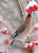 文語法1:太平鳥8.jpg