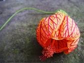 山嵐班2:燈籠花 (4).JPG