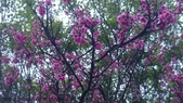 山嵐班2:櫻花.JPG