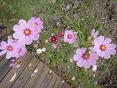 2010/04/26(春末夏初)油桐花&水沙連:公園裡的大波斯菊