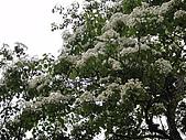 2010/04/26(春末夏初)油桐花&水沙連:苗栗的油桐花