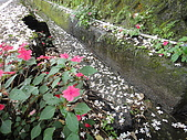 2010/04/26(春末夏初)油桐花&水沙連:鋪在路上油桐花