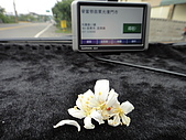2010/04/26(春末夏初)油桐花&水沙連:凋謝的油桐花