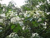 2010/04/26(春末夏初)油桐花&水沙連:日月潭的桐花-2
