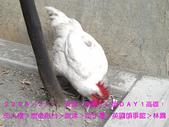 2008/2/1-2/3流浪之旅高雄&佳里:公雞