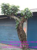 2008/4/20八里MIO與隋棠牽手淨灘愛台灣:CIMG0074 拷貝.jpg