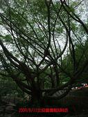 2009/8/11北投圖書館&附近:大樹