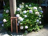 20080715-0724 Seventh Ave.:神社裡很漂亮的繡球花(?)