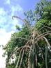 20130725高高在上,玉米雄花.jpg