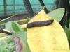 20140513芋雙線天蛾的幼蟲.jpg