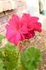 洋繡球:深粉紅