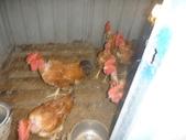 苗栗後龍成功海釣場:早上七點多先去田裡餵雞雞.JPG
