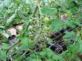 金勇番茄農場:IMG_3385.JPG