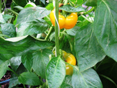 金勇番茄農場:IMG_3370.JPG