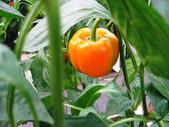 金勇番茄農場:IMG_3374.JPG