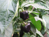 金勇番茄農場:IMG_3376.JPG
