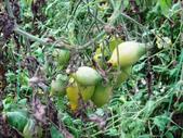 金勇番茄農場:IMG_3361.JPG