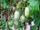 金勇番茄農場:IMG_3363.JPG